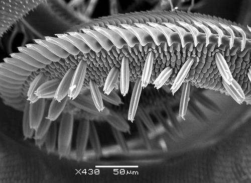 银纹夜蛾口器感器超微结构