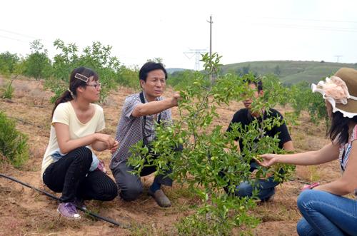 却绿油油的红枣树林
