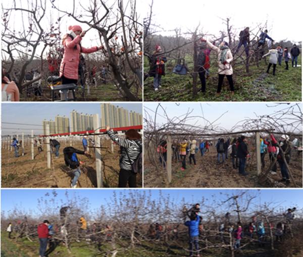 【园艺学院】开展果树冬季修剪实习