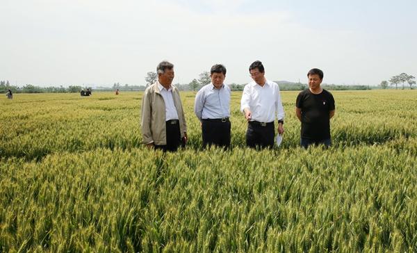 夏前考察:我校小麦品(系)在黄淮麦区表现优异